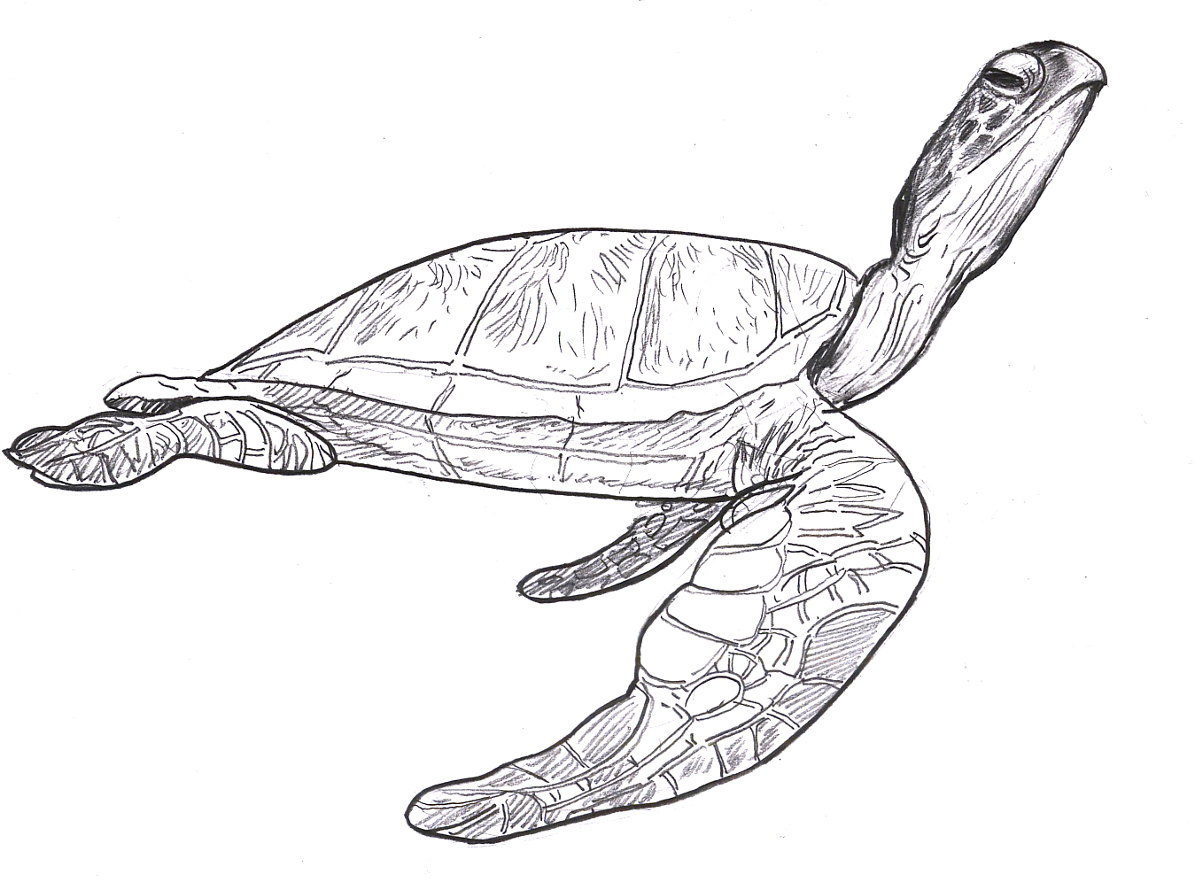 Sea Turtle Sketches http://stevebrodner.com/2012/06/25/sea-turtles/sea-turtle-2/